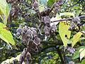 Chimonanthus praecox-Jardin des plantes-winter 03.JPG
