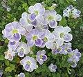 Chinese violet (Asystasia gangetica) flowers 1.jpg