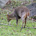 Chinesischer Muntjak Muntiacus reevesi Tierpark Hellabrunn-3.jpg