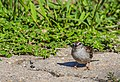 Chipping Sparrow (29953194568).jpg