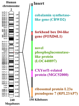 Chimpanzee genome project - Diagramatic representation of the location of the fusion site of chromosomes 2A and 2B and the genes inserted at this location.