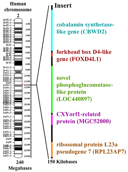 Diagramatic representation of the location of the fusion site of chromosomes 2A and 2B and the genes inserted at this location.