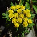 Chrysanthemum rupestre (flower s6).jpg