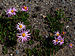 Chrysanthemum weyrichii 01.JPG