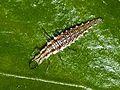 Chrysopidae - Chrysoperla sp. (larva).JPG