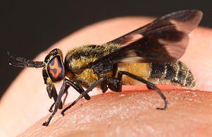 Deer fly - Chrysops caecutiens