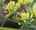 Chrysotoxum bicinctum (36158650986).jpg