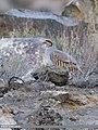 Chukar Partridge (Alectoris chukar) (38259911702).jpg