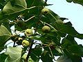 Cilaanthi (Malayalam- ചിലാന്തി) (2094909303).jpg