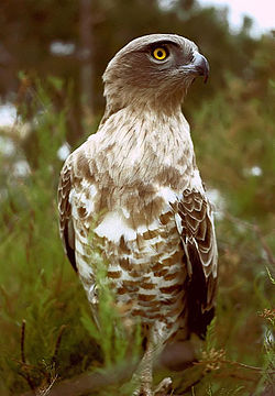 A dark individual of the Short-toed Eagle.