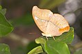 Cirrochroa thais at Kadavoor.jpg