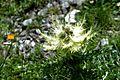 Cirsium spinosissimum (7125713707).jpg