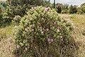 Cistus albidus (Ciste cotonneux) - 37.jpg