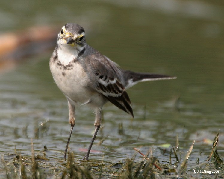Citrine Wagtail I IMG 8316