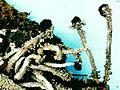 Cladonia cristatella-4.jpg
