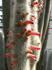 Cleistocactus strausii2.jpg