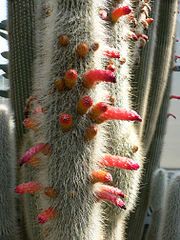 Cleistocactus strausii2