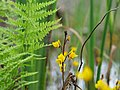 Close up of Utricularia vulgaris flowers in the Teufelsbruch swamp 02.jpg