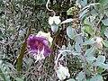Cobaea scandens - Machu Pichu, Pérou.jpg