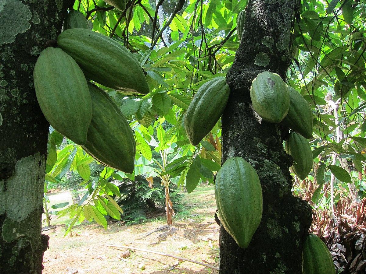 Theobroma cacao wikipedia for Immagini della dispensa del maggiordomo