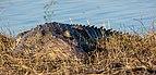 Cocodrilo del Nilo (Crocodylus niloticus), parque nacional de Chobe, Botsuana, 2018-07-28, DD 72.jpg