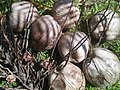 Cocos nucifera Fruits 01.jpg