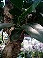 Codiaeum variegatum F4.jpg