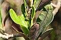 Codiaeum variegatum Red Tortulas 0zz.jpg