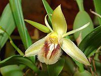 Coelogyne fimbriata Orchi 03