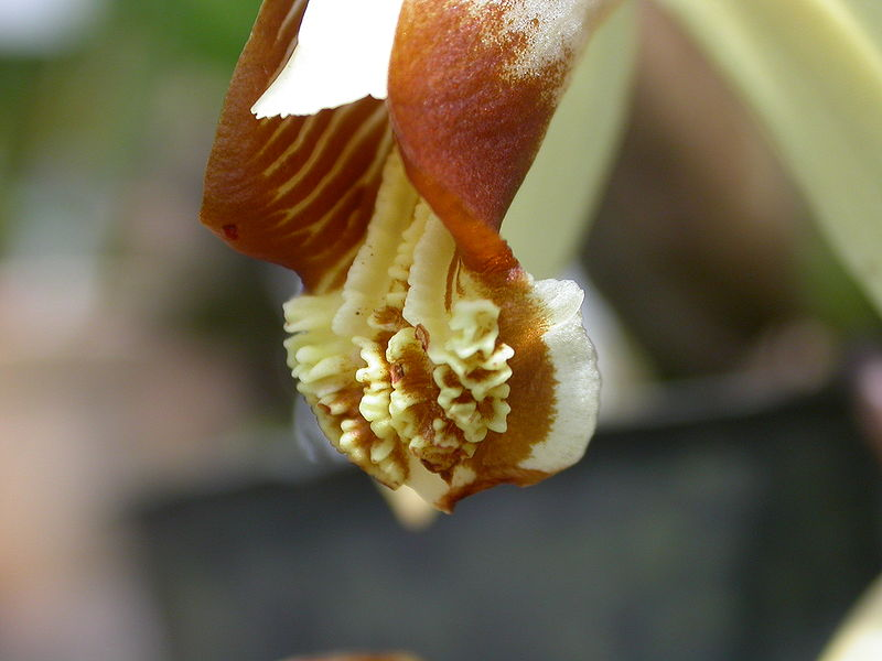 File:Coelogyne tomentosa lip.jpg
