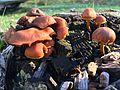 Cogumelos do Geres (22654773144).jpg