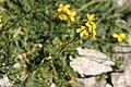 Coincya monensis flower (2).jpg