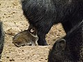 Collared Peccary baby suckling 02.jpg