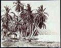 Collectie Nationaal Museum van Wereldculturen TM-60062262 Kokospalmen bij een huis aan de oever Jamaica A. Duperly & Sons (Fotostudio).jpg