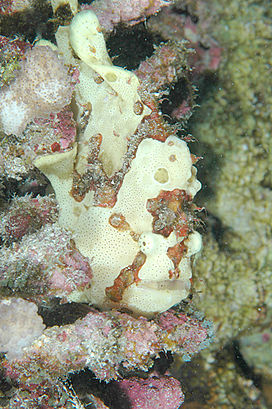 Commerson's Frogfish, Kona, Hawaii.jpg