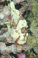 A Commerson's frogfish: disruption and mimicry