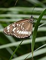 Common Australian Crow, Euploea core (8501697219).jpg