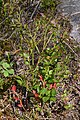 Common Bilberry (Vaccinium myrtillus) - Oslo, Norway 2020-08-30 (03).jpg