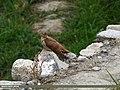 Common Cuckoo (Cuculus canorus) (32506771080).jpg