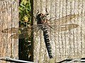 Common Hawker (Aeshna juncea) - geograph.org.uk - 923174.jpg