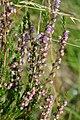 Common Heather (Calluna vulgaris) - Oslo, Norway 2020-08-27.jpg