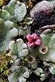 Common Liverwort (Marchantia polymorpha) - Kitchener, Ontario 01.jpg
