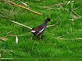Common Moorhen (Gallinula chloropus) (15891703021).jpg
