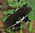 Common Mormon (Papilio polytes) in Talakona forest, AP W IMG 8454.jpg