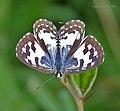 Common Peirrot (Castalius rosimon) in Hyderabad, AP W IMG 0370.jpg