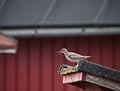 Common Redshank (2).jpg