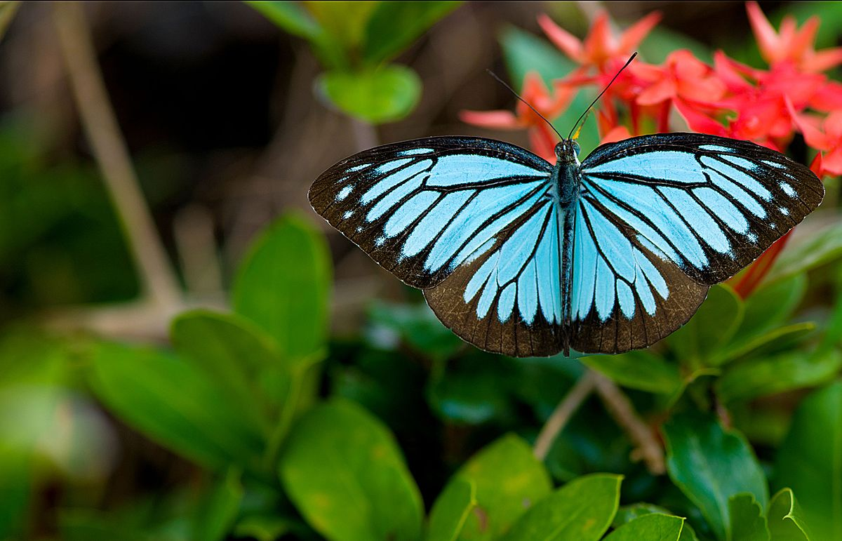 Pareronia valeria - Wikipedia