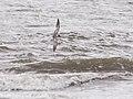Common or White-cheeked Tern (15251051336).jpg