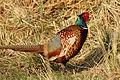 Common pheasant (Phasianus colchicus) cock.jpg