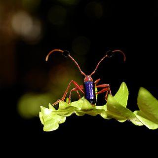 <i>Compsocerus violaceus</i> species of beetle
